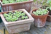 Ocimum basilicum (basil) seedlings in terracotta box