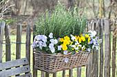 Basket box planted with viola cornuta and rosmarinus