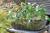 Wire basket with Allium ursinum in clay pots on chair in the garden