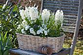 Hyacinthus 'White Pearl', Viola cornuta