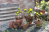 Eranthis hyemalis (winter aconite) in clay pots on garden table
