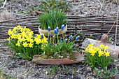 Narcissus 'Tete A Tete' (Daffodil), Muscari Aucheri 'Mount Hood'