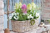 Hyacinthus 'White Pearl', 'Pink Pearl', Viola cornuta