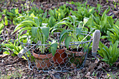 Allium ursinum (ramson) in clay pots in a wire basket and in a flowerbed