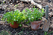 Galium odoratum (woodruff) in clay pots in the garden