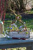 Anemone blanda, in the wooden box, branches of Cornus