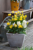 Spring terrace with Narcissus 'Tete a Tete', Tulipa 'Calimero'