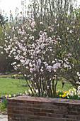 Prunus kurilensis in spring bed behind garden wall