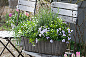 Basket with rosemary, Galium odoratum