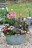 Tulipa 'Akela', 'Purple Prince' and Bellis