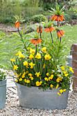 Fritillaria Imperialis 'Aurora', Narcissus 'Jetfire'