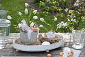 Muscari aucheri 'White Magic' ( Traubenhyazinthen ) mit Zwiebeln