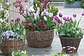 Tulipa 'Shirley' 'Purple Prince' 'Claudia' ( Tulpen ), Viola cornuta