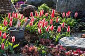 Tulipa greigii 'Czaar Peter' (Tulip)