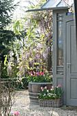 Wisteria sinensis, tulipa, and muscari