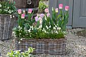 Basket with Tulipa 'Akela', and Muscari Aucheri 'White Magic'