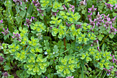 Euphorbia helioscopia (Solstice spurge) and Lamium purpureum