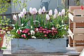 Tulipa 'Shirley', Bellis, and Muscari Aucheri