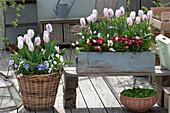 Tulipa 'Shirley' (Tulip), Bellis (Daisies), Muscari Aucheri