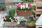 Hyacinthus 'White Pearl' 'Pink Pearl' (Hyacinth), Bellis (daisies)
