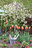 Tulipa 'Synaeda King' (tulips) flowered lily and malus