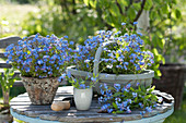 Myosotis 'Myomark' (forget-me-not) in spank basket and resin pot