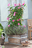 Rose 'Gertrude Jekyll' (English fragrance rose) on the trellis