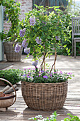 Small wisteria frutescens (wisteria) at the trellis in the basket