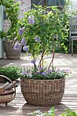 Small wisteria frutescens (wisteria) at the trellis in the basket