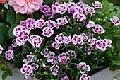 Dianthus 'Pink Kisses' (Carnation)