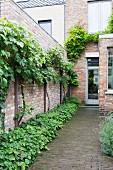 Weinpflanzen ranken an Backsteinwand im Hinterhof