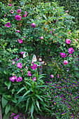 Pink-flowering dog rose and violas lit by garden lights