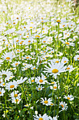 Ox-eye daisies in flowering meadow