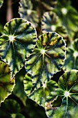 Leaves of the begonia