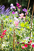 Sweet peas and other flowers in garden