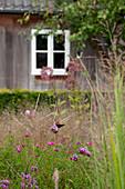Patagonisches Eisenkraut (Verbena bonariensis) im Garten, im Hintergrund Haus