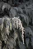 Ice crystals on thuja bush