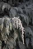 Eiskristalle an einer Thuja