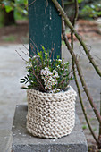 Waxflowers in pot with knitted cover