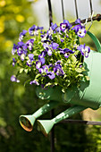 Watering cans planted with violas