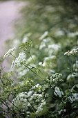 Caraway flowers against blurred background