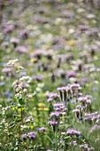 Flowering Phacelia and buckwheat in wild meadow