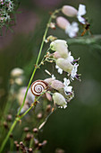 Snail on bladder campion