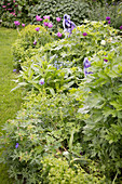 Tulips and perennials in spring flowerbed