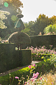 Japanese anemones in topiary garden (Les Jardin de Castillon, France)
