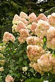 Overblown hydrangeas in garden