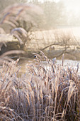 Frozen grasses in wintry landscape