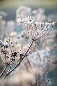 Fennel umbels in wintry landscape