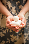 Fresh white eggs held in cupped hands