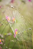 Morgentau auf einem Spinnennetz